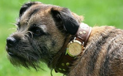 Un Rolex da 2.500 sterline come collare per Fido