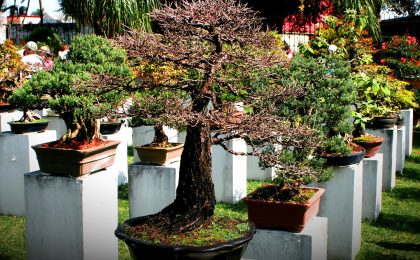 I bonsai più costosi al mondo: la classifica green