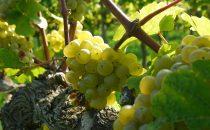 Giornate del Riesling 2017: 5 settimane dedicate alle uve più pregiate del Trentino Alto Adige